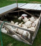 Chicken Tractor and Cornish X chickens