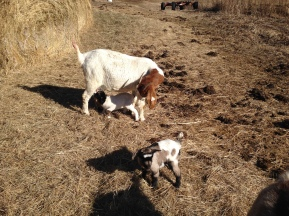 We have had sweet success with all of our Boer Goat Mamas this year