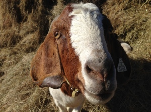 Sweetie is not my milking goat, but I just couldn't resist sharing this picture