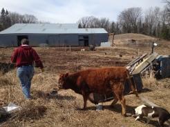 Dairy Heifer Arrives 4/12